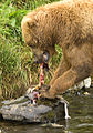 Brown Bear Feeding on Salmon.jpg