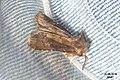 Brown rustic (NH266) (29295408713).jpg