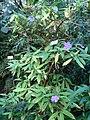 Brunfelsia pauciflora (BG Zurich)-02.JPG