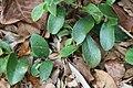 Brunfelsia x Isola 0zz.jpg