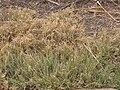 Buchloe dactyloides.jpg