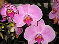 Budapest Orchid Exhibition 2006 29.JPG