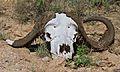 Buffalo Skull (6017786299).jpg