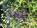 Bufo bufo at Universeum european toad IMG 5113.jpg