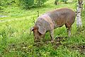 Bulgaria-03006 - Oink.......Who are you? (11049950606).jpg