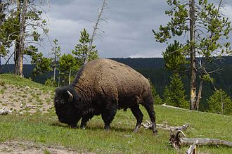 Yellowstone Park bison herd - Bull bison in Mud Volcano area