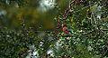 Bull Finch male (10387799826).jpg