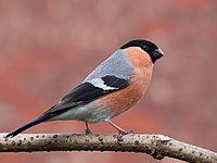 Bullfinch side-on.jpg