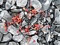 Burren Flora 23 Rue-leafed Saxifrage (3586249176).jpg
