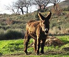 Passage sous un âne.... dans ANE 220px-Burro_en_El_Bierzo