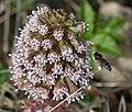 Butterbur ^ Honey Bee - Flickr - S. Rae.jpg