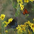 Butterflies from Cape May (5005073609).jpg