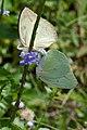 Butterflies mating (5434113389).jpg