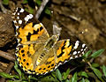 Butterfly by N A Nazeer.jpg