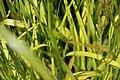 Calamagrostis Cheju-Do 2zz.jpg