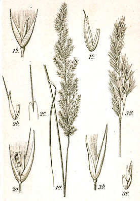 1. Sumpf- (C. canescens), 2. Ufer- (C. pseudophragmites) und 3. Land-Reitgras (C. epigejos), Kupferstich von Sturm