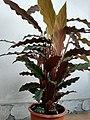 Calathea rufibarba 4.jpg