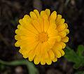 Calendula officinalis - Parc floral 2.jpg