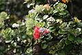 Calliandra, Hawaii Island, USA1.jpg