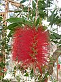 Callistemon citrinus var. splendens 'Crimson bottlebrush' (Myrtaceae) flower.jpg