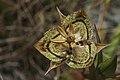 Calochortus tiburonensis Ring Mountain.jpg