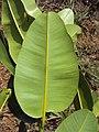 Calophyllum inophyllum leaves 01.JPG