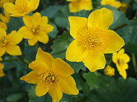 Caltha palustris flower.JPG