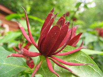 Calycanthaceae - Calycanthus floridus