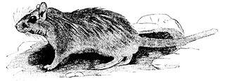 Lesser Egyptian gerbil species of mammal