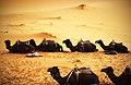 Camel Pit Stop (Unsplash).jpg