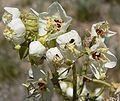 Camissonia claviformis flowers.jpg