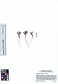 Campanula sharsmithiae (5940133649).jpg