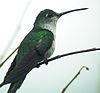 Campylopterus largipennis 2
