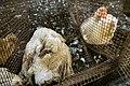Canard-mort-vivant-cage.jpg