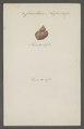 Cancellaria nassa - - Print - Iconographia Zoologica - Special Collections University of Amsterdam - UBAINV0274 084 05 0007.tif