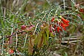 Cancer Bush (Lessertia frutescens) (32856078085).jpg