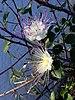 Caper flowers 20180530.jpg