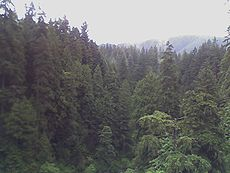 Temperate rain forest seen from Capilano Suspension Bridge in Vancouver, Canada.