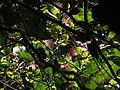 Capparis zeylanica111.JPG