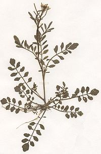 Cardamine flexuosa Herbar