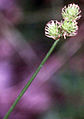 Carex cristatella NRCS-1.jpg