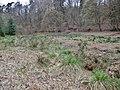 Carex paniculata plant (18).jpg