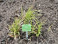 Carex pilosa - Copenhagen Botanical Garden - DSC07936.JPG