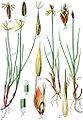 Carex spp Sturm21.jpg