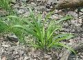Carex strigosa kz13.jpg