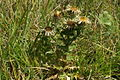 Carlina vulgaris PID940-1.jpg