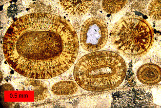 Oolite - Thin-section of calcitic ooids from an oolite within the Carmel Formation (Middle Jurassic) of southern Utah