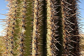 Saguaro - Saguaro spines