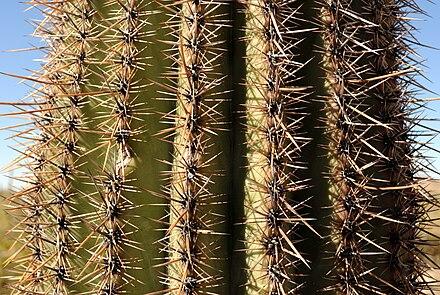 25 Seeds Giant Saguaro Cactus Seeds Carnegiea gigantea crested