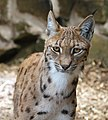 Carpathian Lynx 8 (35944465186).jpg